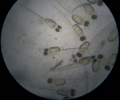 Almost ready to hatch, Silver Perch eggs under microscope